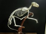 lemur skeleton42