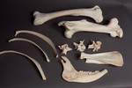 10 pc assorted large animal bones - camel, buffalo, etc 60r 150s