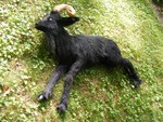 Goat and Sheep Props - lifelike goat prop