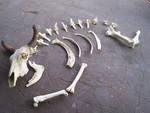 desert steer bones 13