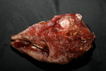 Goat and sheep props - skinned sheep head 93.JPG