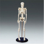 model skeletons - 16 inch skeleton $20