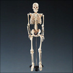 model skeletons - 33 inch skeleton $35