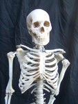 Clean Bone skeleton with cast Feng skull 01.JPG
