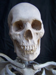Clean Bone skeleton with cast Feng skull 08.JPG