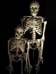 crime scene skeleton - natural bone adult and child skeletons