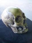 Indian Skull  300.JPG