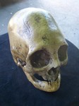ancient peruvian female skull replica 150.JPG