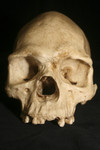 museum aborigine skull natural finish    