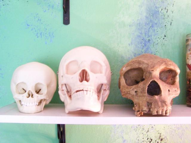 Human Skull Comparison Set Left - 2 year old child skull Center - Adult male skull Right - Neanderthal skull