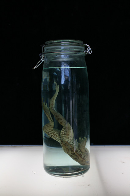 Frogs and Toads - frog in tall jar 100.JPG