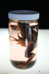Frogs and Toads - frog specimen jar 45.JPG