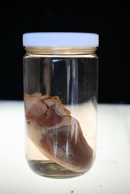 Hearts - sheep heart  specimen jar 136.JPG
