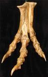 albertosaurus foot 400.JPG